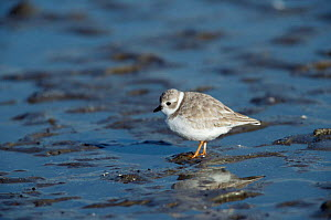 Piping plover {Charadrius melodus} Florida, USA.  -  Barry Mansell