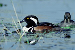 Hooded merganser {Lophodytes cucullatus} Florida, USA. - Barry Mansell
