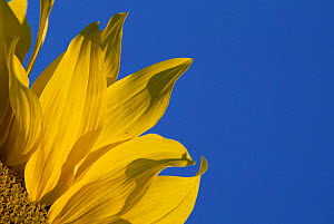 Detail of Sunflower flower {Helianthus annuus} Germany - Martin Gabriel