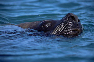 Patagonia sealion, male with head just above water {Otaria flavescens} Patagonia, Argentina  -  Gabriel Rojo