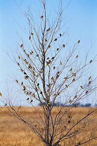 Flock of Grassland yellow finches in tree {Sicalis luteola} Argentina  -  Gabriel Rojo