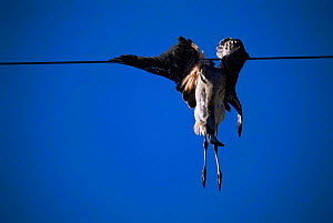 Chilean flamingo killed by colliding with power line {Phoenicopterus chilensis} La Pampa, Argentina  -  Gabriel Rojo