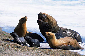 South American / Patagonian sealion male, females and pups {Otaria flavescens} Argentina, Valdez  -  Gabriel Rojo