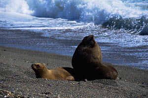 South American / Patagonian sealion pair {Otaria flavescens} on beach, Valdez peninsula, Argentina - Gabriel Rojo