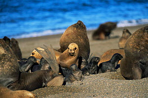 South American / Patagonian sealion male, females and pups {Otaria flavescens} colony on beach, Argentina, Valdez  -  Gabriel Rojo