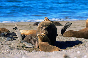South American / Patagonian sealion bull with females {Otaria flavescens} in colony on beach, Valdez peninsula, Argentina  -  Gabriel Rojo