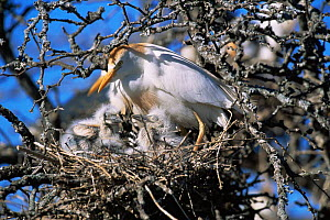 Cattle egret with chicks at nest {Bubulcus ibis} La Pampa, Argentina  -  Gabriel Rojo