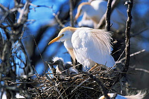 Cattle egret with chick at nest {Bubulcus ibis} La Pampa, Argentina  -  Gabriel Rojo