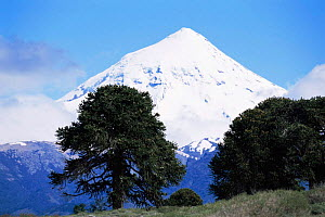 Snow-capped Lanin volcano, Lanin National Park, Argentina, with Monkey puzzle trees (Araucaria araucana) in foreground  -  Gabriel Rojo