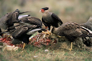 Common caracaras feeding on sheep carcass {Caracara plancus} Cordoba, Argentina  -  Gabriel Rojo