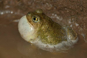 Couch's spadefoot toad male calling {Scaphiopus couchii} Arizona, USA.  -  John Cancalosi