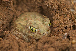 Couch's spadefoot toad male burrowing {Scaphiopus couchii} Arizona, USA.  -  John Cancalosi