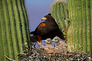 Harris' hawk at nest in saguaro cactus with chicks, Sonora desert, Arizona, USA.  -  John Cancalosi