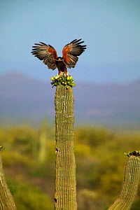 Harris' hawk with nest material on saguaro cactus, Sonora desert, Arizona, USA.  -  John Cancalosi