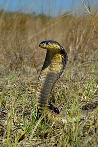 Snouted cobra defense display with hood spread {Naja annulifera} South Africa  -  Philip Dalton
