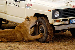 Female African lion {Panthera leo} biting vehicle tyre, South Africa  -  Philip Dalton