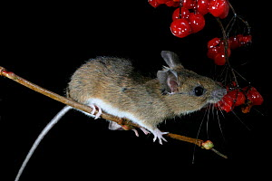 Yellow-necked mouse feeds on guelder rose berries {Apodemus flavicollis} Wales, UK. - Dave Bevan