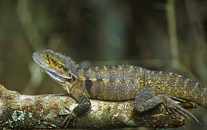 Eastern water dragon {Physignathus leseurii} Crater Lakes NP, QLD, Australia - Rob Tilley