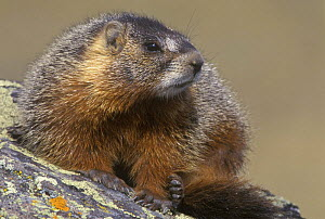 Yellow bellied marmot {Marmota flaviventris} Yellowstone NP, Wyoming, USA.  -  Rob Tilley