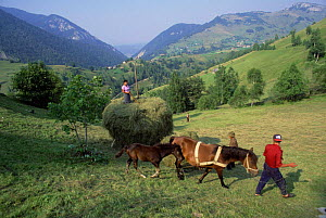 Bringing in the summer hay, Zarnesti, Carpathian mountains, Romania  -  Nick Turner