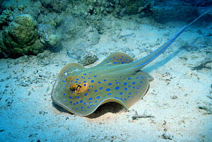 Blue spotted ribbontail ray {Taeniura lymna} Red Sea - Georgette Douwma