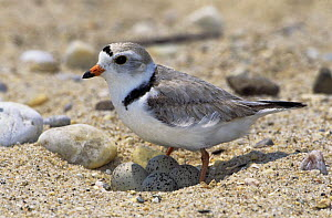 Piping plover (Charadrius melodus) standing over nest with four eggs, Long Island, NY, USA  -  Tom Vezo