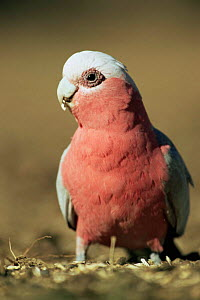 Galah cockatoo, male (dark eye) {Eolophus roseicapilla} Queensland, Australia  -  WILLIAM OSBORN