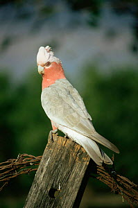 Galah cockatoo, female (pink eye) {Eolophus roseicapilla} Queensland, Australia  -  WILLIAM OSBORN
