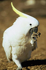Sulphur crested cockatoo {Cacatua galerita} feeding from foot, QLD, Australia  -  WILLIAM OSBORN