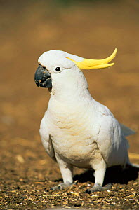 Sulphur crested cockatoo {Cacatua galerita} Queensland, Australia  -  WILLIAM OSBORN