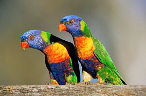 Rainbow lorikeet pair {Trichoglossus haematodus} Queensland, Australia  -  WILLIAM OSBORN