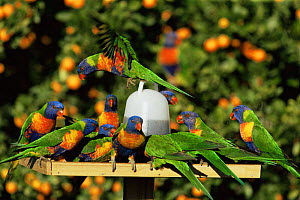 Rainbow lorikeets at feeder {Trichoglossus haematodus} Queensland, Australia  -  WILLIAM OSBORN