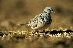 Zebra / Peaceful dove {Geopelia striata} Queensland, Australia  -  WILLIAM OSBORN