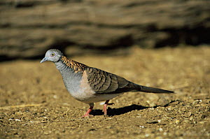 Bar-shouldered dove {Geopelia humeralis} Queensland, Australia  -  WILLIAM OSBORN