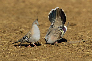 Crested pigeon male displays to female {Ocyphaps lophotes} Queensland, Australia  -  WILLIAM OSBORN