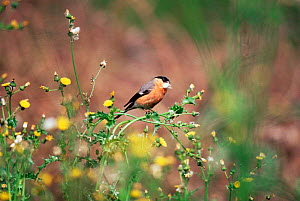 Bullfinch {Pyrrhula pyrrhula} collecting down from Sow thistle, UK.  -  Colin Varndell