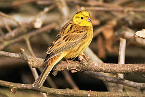 Male Yellowhammer {Emberiza citrinella} UK. - Colin Varndell