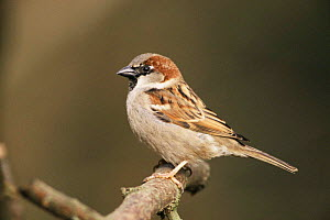 Male Common / House sparrow {Passer domesticus} UK. - Colin Varndell
