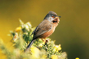 Dartford warbler singing {Sylvia undata} UK.  -  Colin Varndell