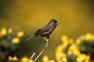 Dartford warbler on gorse {Sylvia undata} UK.  -  Colin Varndell