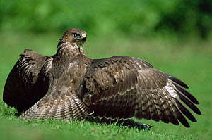 Common buzzard wings spread, mantling prey {Buteo buteo} UK. - Colin Varndell