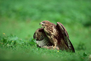 Juvenile Common buzzard mantling prey and calling {Buteo buteo} UK. - Colin Varndell