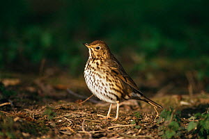 Song thrush {Turdus philomelos} UK.  -  Colin Varndell