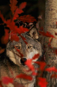 Grey wolf {Canis lupus} portrait with autumn leaves, captive, USA - Lynn M Stone