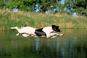 English springer spaniel {Canis familiaris} leaping across water, USA  -  Lynn M Stone