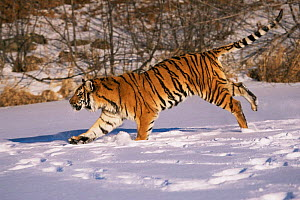 Siberian tiger running through snow {Panthera tigris altaica} captive - Lynn M Stone