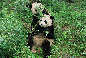 Giant pandas playing and eating bamboo {Ailuropoda melanoleuca} Wolong NR, Qionglai mts, Sichuan, China Captive. - Lynn M Stone