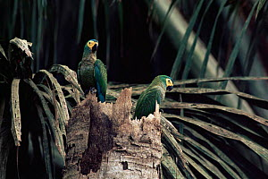 Red bellied macaw at nest in dead palm tree {Ara manilata} Madre de Dios, Peru - Luiz Claudio Marigo