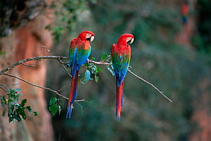 Green winged / Red and green macaws {Ara chloroptera} pair, Mato Grosso, Brazil - Luiz Claudio Marigo