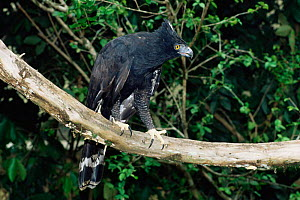 Black hawk eagle {Spizaetus tyrannus} Endangered sapecies, captive  South America  -  Luiz Claudio Marigo
